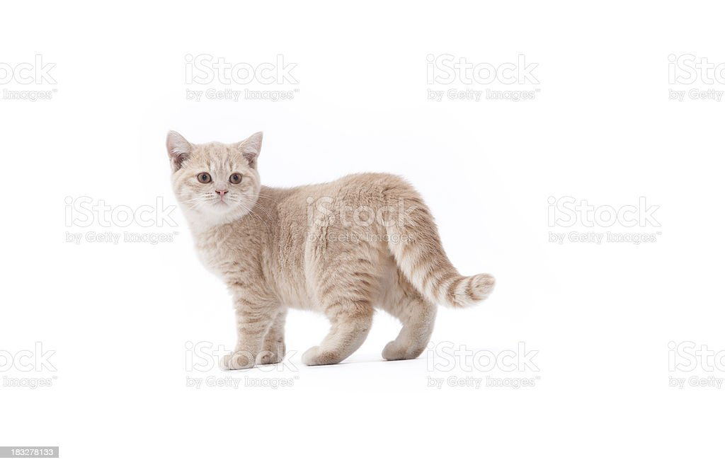 British Cat Isolated royalty-free stock photo