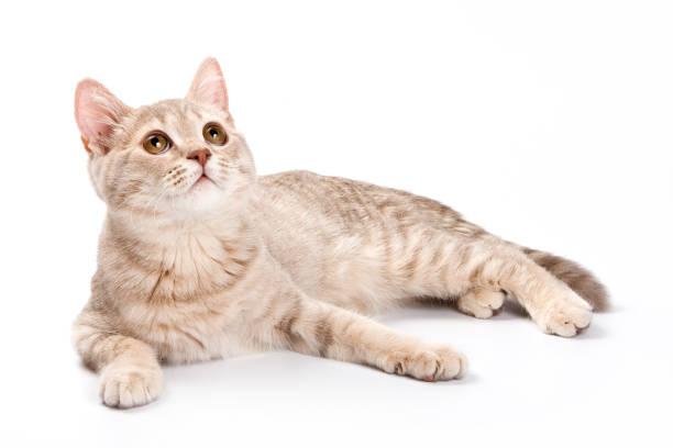 British cat kitten picture id857931398?b=1&k=6&m=857931398&s=612x612&w=0&h=rjvuajmvugeubfczzqhmfegtt3z2qedehm4ybhd l4e=
