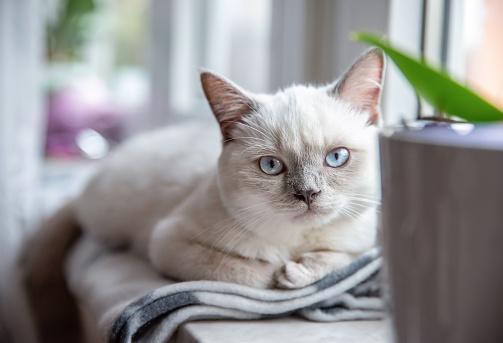 British cat lilac point