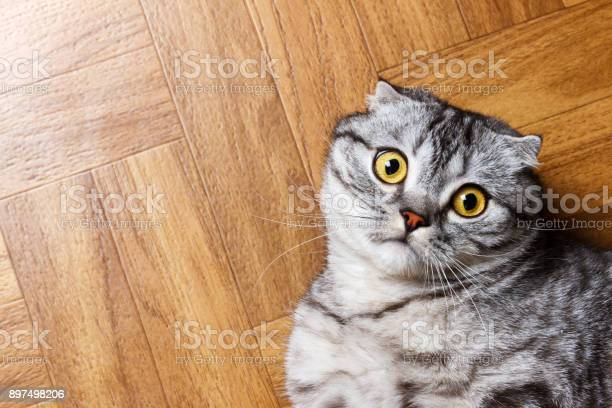 British cat lying on the floor surprised scottish cat on the floor picture id897498206?b=1&k=6&m=897498206&s=612x612&h=a60efah6htnp ivlycgkrttjw3woczzilyimbolxh8o=