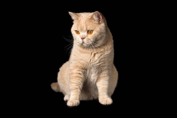 British Cat stock photo