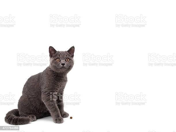 British cat picture id472784086?b=1&k=6&m=472784086&s=612x612&h=pqtvcebedczqqcx7jg lnl3yoq6obaagsr6l  oh8o0=