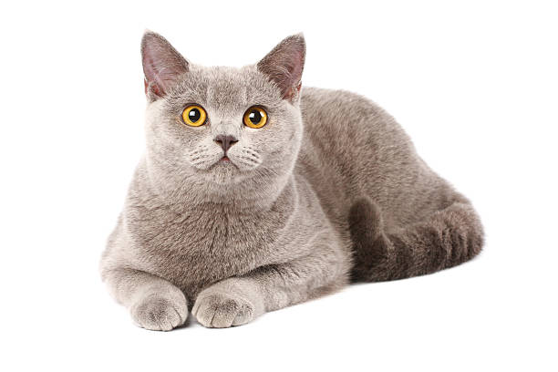 British cat picture id91634309?b=1&k=6&m=91634309&s=612x612&w=0&h=o1d3yokw fcvmxtncjy1svxzwpbd9ze1ta1iqvd g2u=