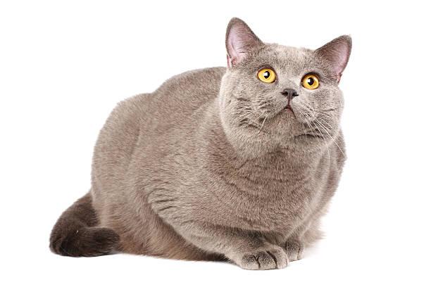 British cat picture id91762161?b=1&k=6&m=91762161&s=612x612&w=0&h=nswjmi3f45nmpyv7k5kokdot7t6npmmgvkzarvifmnw=