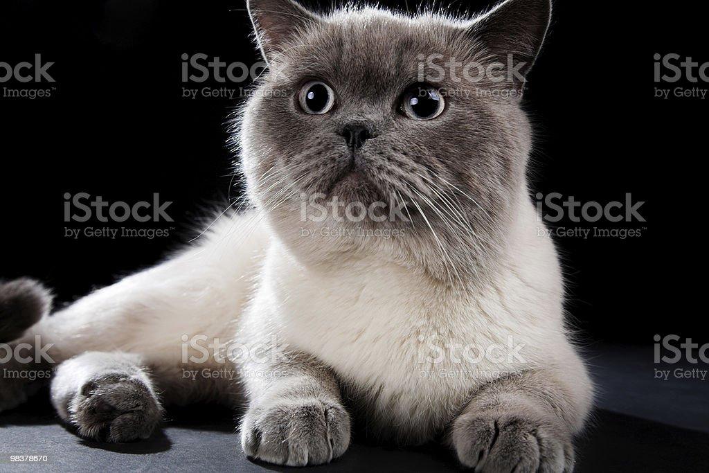 Gatto britannico foto stock royalty-free