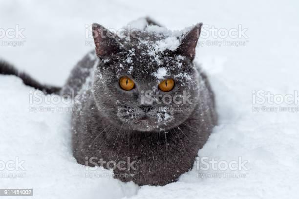 British cat sits in a deep snowdrift picture id911484002?b=1&k=6&m=911484002&s=612x612&h=mn30jfrvjb382c0 xk5b djshigfamdrgsd5qen4jp4=