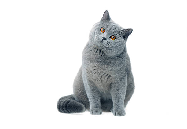 British cat staring picture id148955176?b=1&k=6&m=148955176&s=612x612&w=0&h=zphui7ujkqtl47mowu0uvdjvwkyg5mk8ytwr20xd3ty=