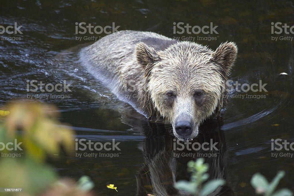 British Columbia Grizzly - Royalty-free Animal Wildlife Stock Photo
