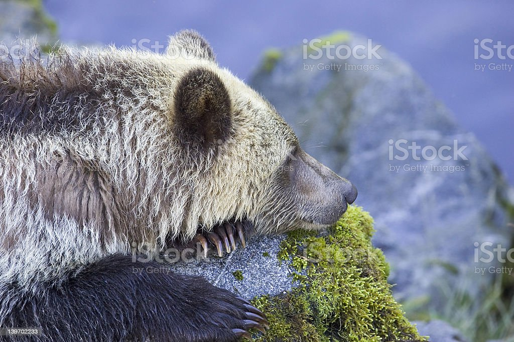 British Columbia Grizzly - Royalty-free Animal Wildlife Stock Photo