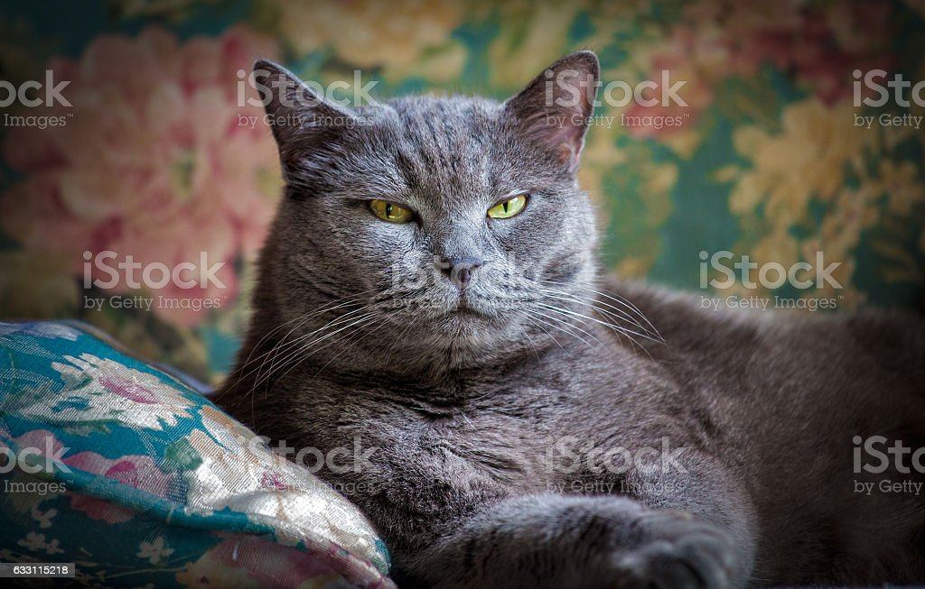 British domestic cat indoor royalty-free stock photo