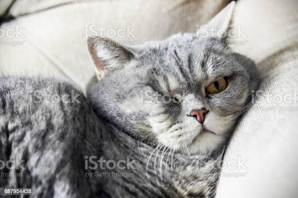 British fat cat lounging on the sofa asleep cat look picture id687954438?b=1&k=6&m=687954438&s=612x612&h=isycwmbxron4w65dbbmzqi lwbrc4zmonqvnlh 2scy=