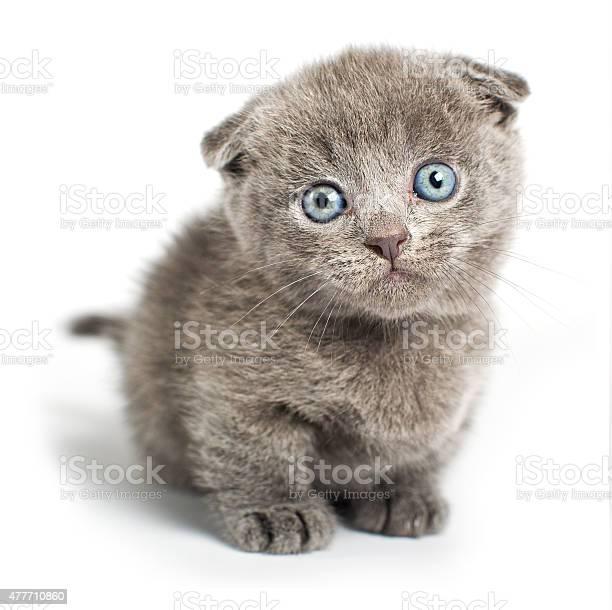 British fold cat on a white background in studio picture id477710860?b=1&k=6&m=477710860&s=612x612&h=wwzqxvnm 9jvyw7nsm0gpwabvpnah1h1 b c nm us4=