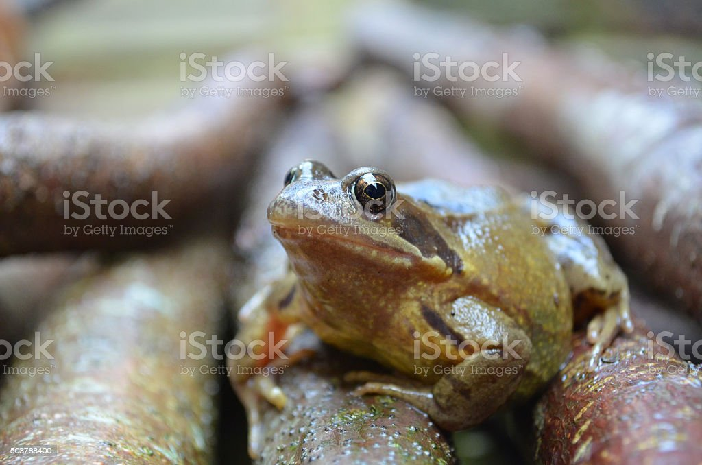 British garden frog on hazel branches. stock photo