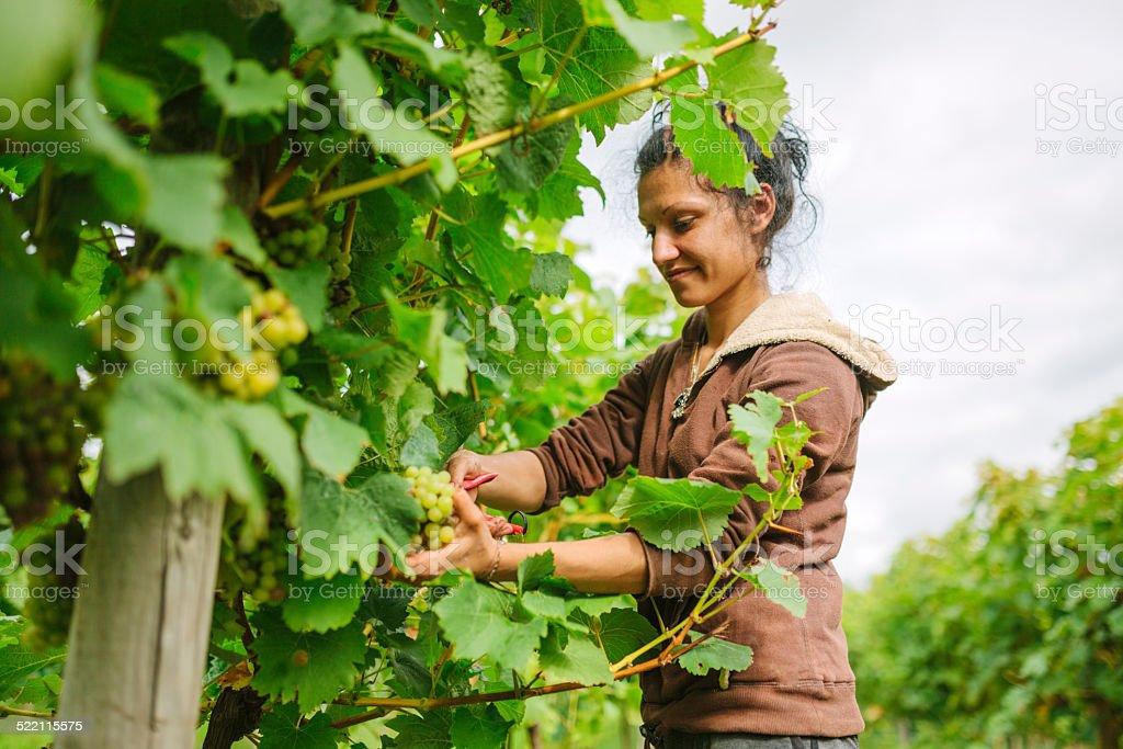Britische grape harvest – Foto