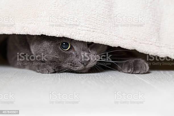 British gray cat looking from under bed picture id457845501?b=1&k=6&m=457845501&s=612x612&h=yhflsjl6zo7wbqkn7dsnlyv1pinl3sv3lcgfr5efoyy=