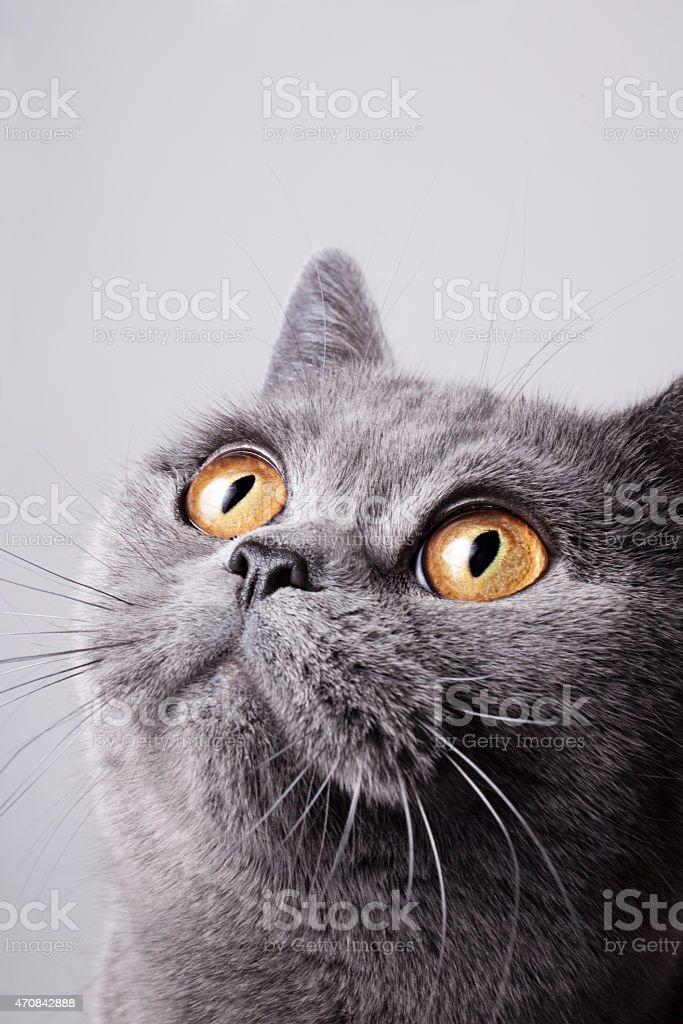British gray cat stock photo