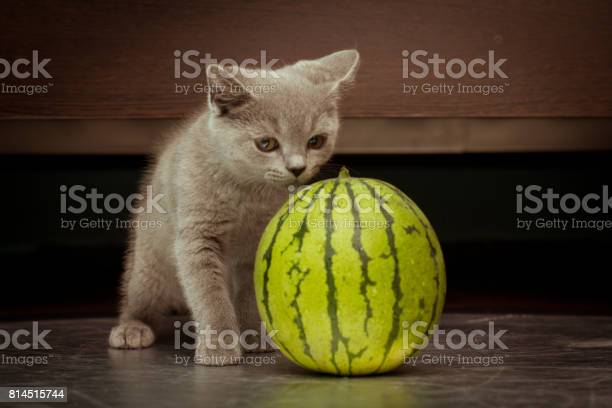 British gray kitten play with a juicy watermelon over black picture id814515744?b=1&k=6&m=814515744&s=612x612&h=zqmkfbwltmj ahgactu4smeilngrevg5 uq24eir4da=