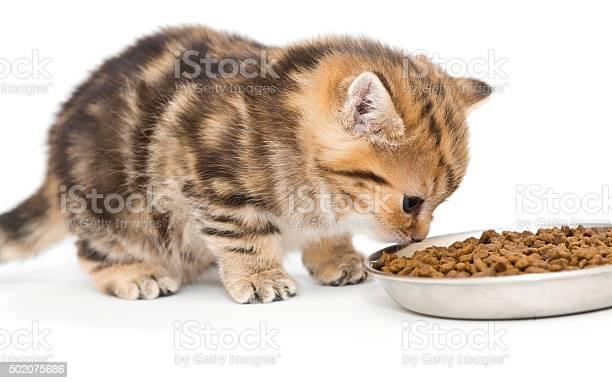 British kitten eats dry food picture id502075686?b=1&k=6&m=502075686&s=612x612&h=tfhwm6hlfkfaq6p861cnrwtvo fmxxhuu2w6hxzvkss=