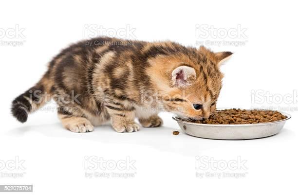British kitten eats dry food picture id502075704?b=1&k=6&m=502075704&s=612x612&h=rm pn0f9ndwccaad9j qovzvgsfhxczemiu4eeq2ikk=