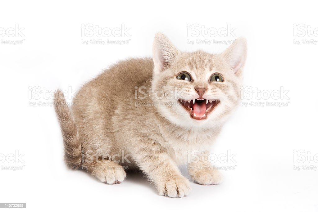 A British kitten hissing on a white background royalty-free stock photo