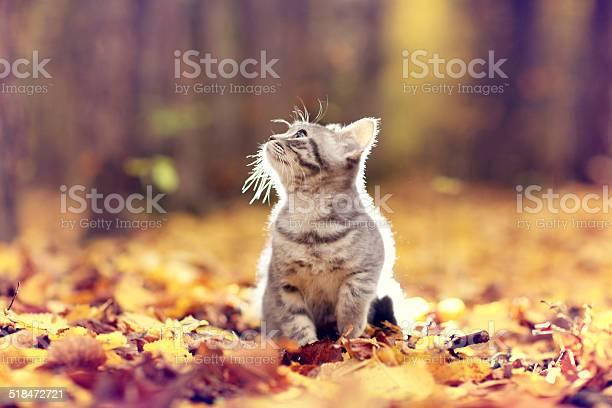 British kitten in autumn park fallen leaves picture id518472721?b=1&k=6&m=518472721&s=612x612&h=xacixfdjmvmo2qqirujou17jz5vkxdwjtafquupxjia=