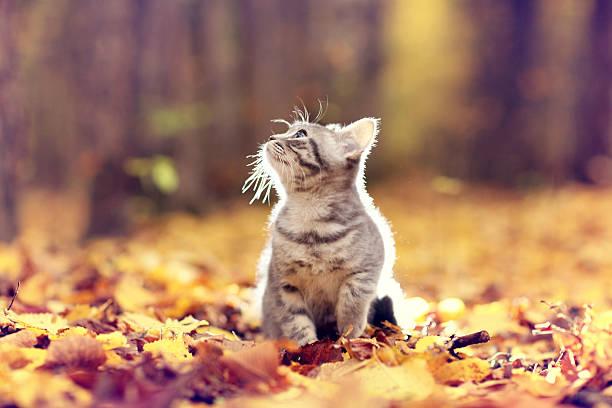 British kitten in autumn park fallen leaves picture id518472721?b=1&k=6&m=518472721&s=612x612&w=0&h=f1h8yr7e4ftnvbb1ulcduf5dtvry23kuflkp6tsqkgi=