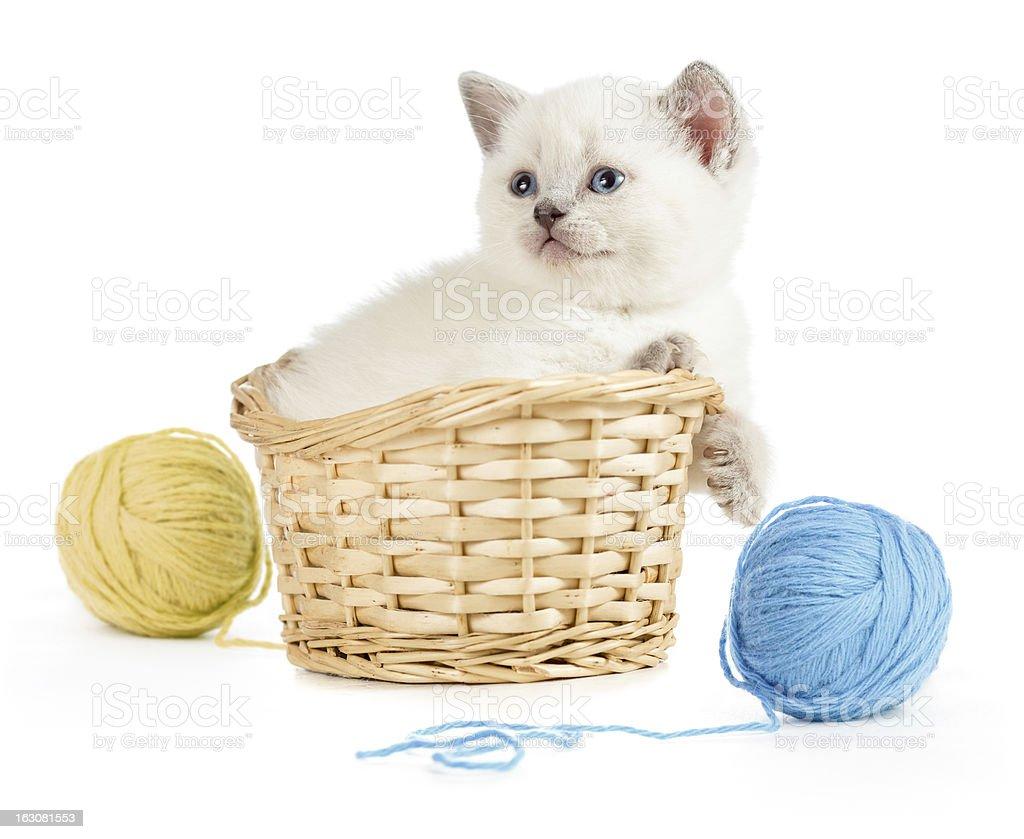 British kitten in basket royalty-free stock photo