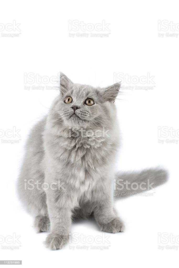 british kitten looking up isolated royalty-free stock photo