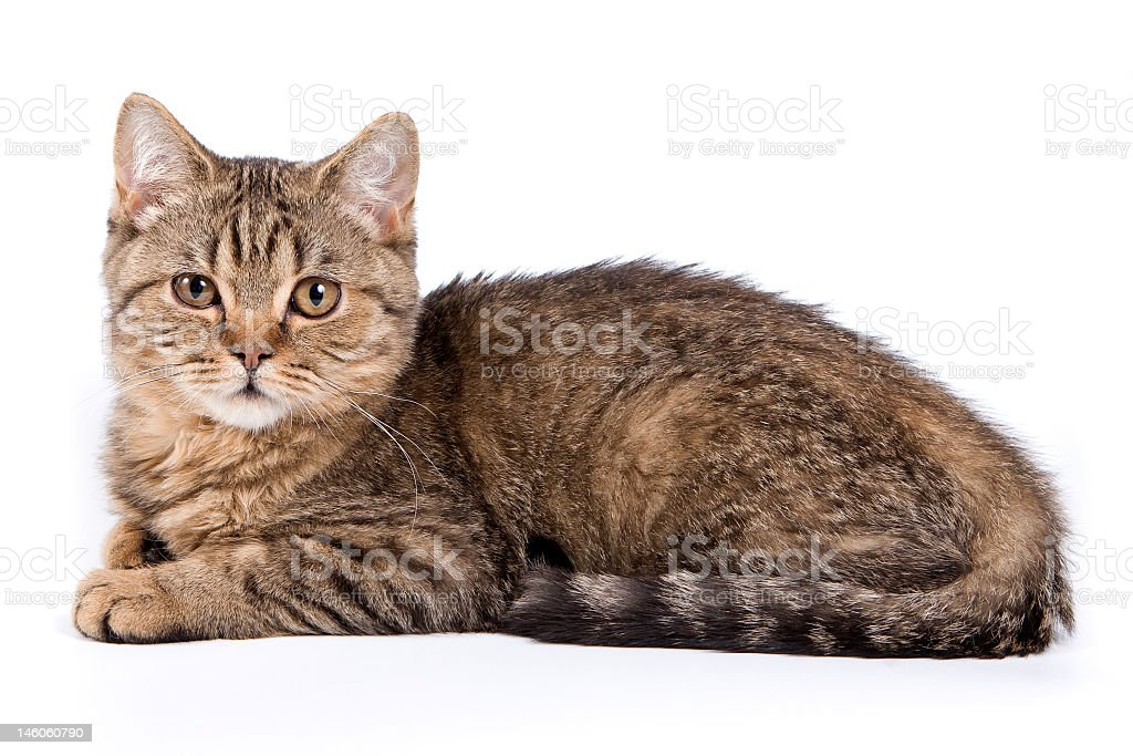 A British kitten on a white background stock photo