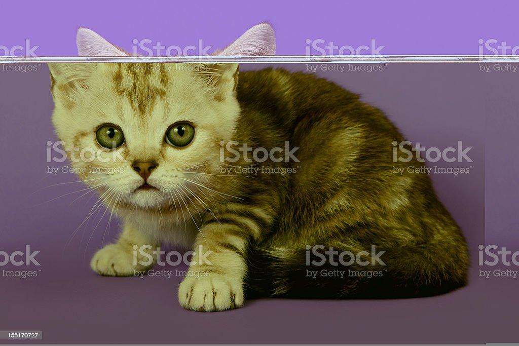 British kitten on colour background stock photo