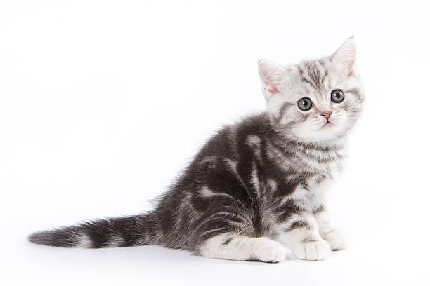 British kitten on white background picture id147090795?b=1&k=6&m=147090795&s=612x612&w=0&h=kqi tuexkk drbmxen7lx9hf0sndm5hxvhzv70wwulg=