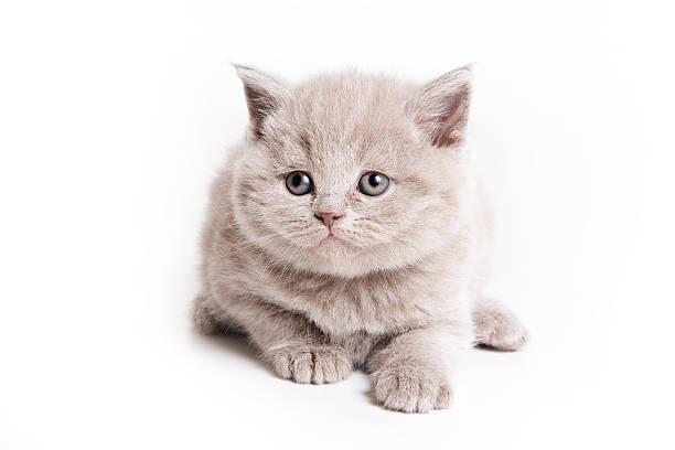 British kitten on white background picture id147668059?b=1&k=6&m=147668059&s=612x612&w=0&h=wvcmkxmq3vhppwzaqemilzf2lzp4m7yyj0mjefqcawo=