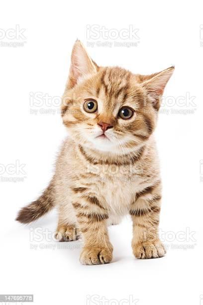 British kitten on white background picture id147695778?b=1&k=6&m=147695778&s=612x612&h=zjq4a3jch5sbtzxqnqndwmufpcdgjxwutlzyjmfupky=