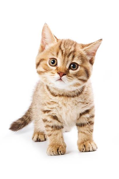British kitten on white background picture id147695778?b=1&k=6&m=147695778&s=612x612&w=0&h=e1rodjps76vr gs5rg75oja8p9stjmma2woq9iyjcew=