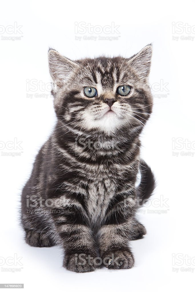 British kitten on white background stock photo