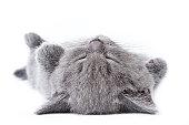 British kitten on white background