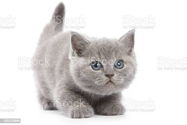 British kitten on white background picture id155326998?b=1&k=6&m=155326998&s=612x612&h=0n x gk3ya9ez02f6j9zdzccdorzqadxvrprv81ptdi=