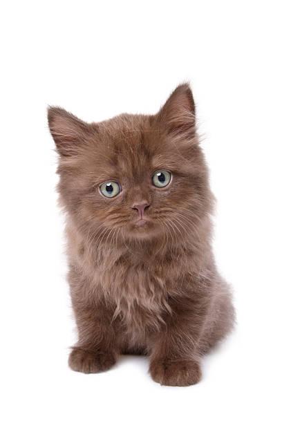 British kitten picture id136143991?b=1&k=6&m=136143991&s=612x612&w=0&h=zxkttmy cdjnw4walqv59tecwuyxg94qm4yrx 3ebe0=
