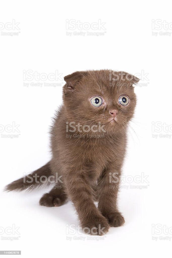 British kitten royalty-free stock photo