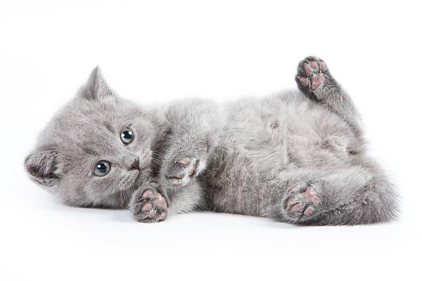 British kitten picture id149076421?b=1&k=6&m=149076421&s=612x612&w=0&h=mhlcrt7jonr0qix m2um  8qmf8tszk5oxdg0f 4gc4=