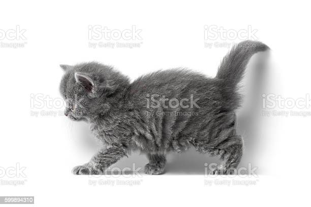 British kitten picture id599894310?b=1&k=6&m=599894310&s=612x612&h=iqgnevdnmrhpwe5m3p5vo8v 5mba3z7skwllir b8 y=