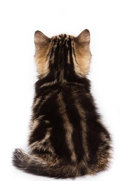 British kitten sitting back picture id492571314?b=1&k=6&m=492571314&s=612x612&w=0&h=fu z98mupoueixgddk4k2j7phcmxr7bf y3viqvxll0=
