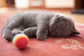 Beautiful young silver babby British Kitten Sleeping