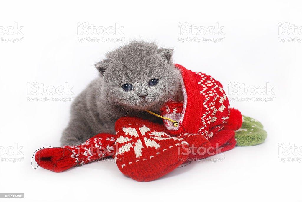 British kitten with mittens royalty-free stock photo