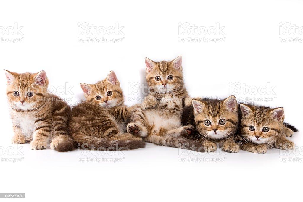 British kittens against white background stock photo