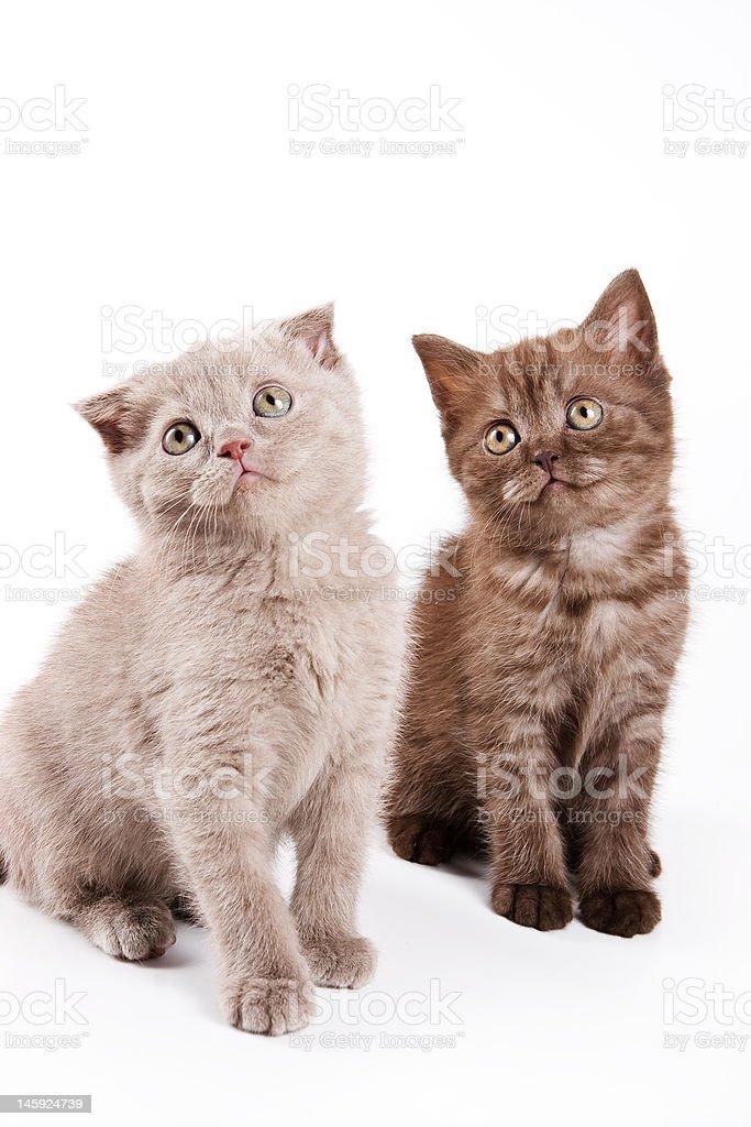British kittens royalty-free stock photo