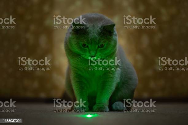 British lilac cat looks at a green speck from a laser pointer picture id1133037021?b=1&k=6&m=1133037021&s=612x612&h=fkuodwuetw9pxmdh5oxtpxdxbvj1gsn tebr4rnbrfe=
