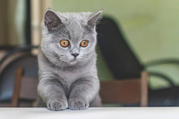 British little kitten curious crawls on a table with a book at a meal picture id1162473509?b=1&k=6&m=1162473509&s=612x612&w=0&h=o5bs6zcfwifxitc3iayyihqzlh 5jcpxc eurdyf0nu=