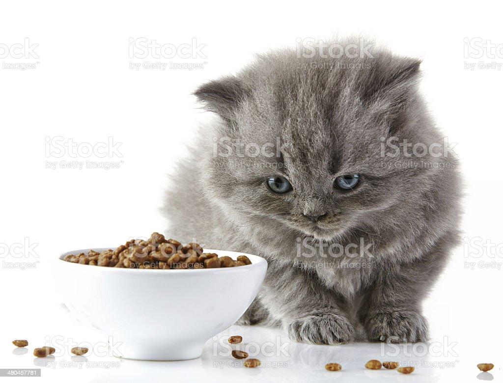 British long hair kitten stock photo