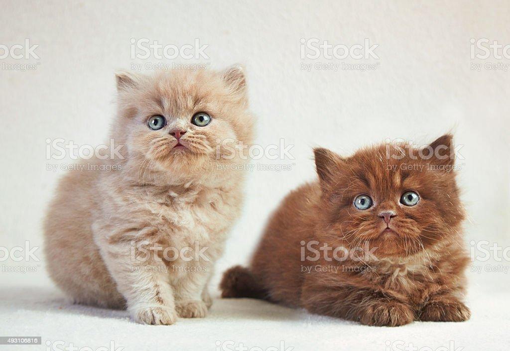 British long hair kittens stock photo